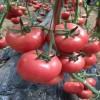 葫芦岛口感柿子苗育苗基地 育沙瓤西红柿苗厂